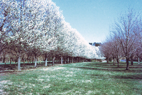 Blooming Bradford Pears Line the NATO Vista by bahayla