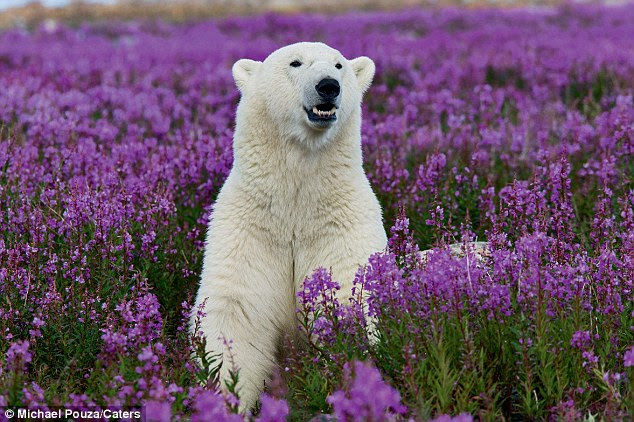 Where there should be snow, instead there is a field of purple flowers, confusing this polar bear