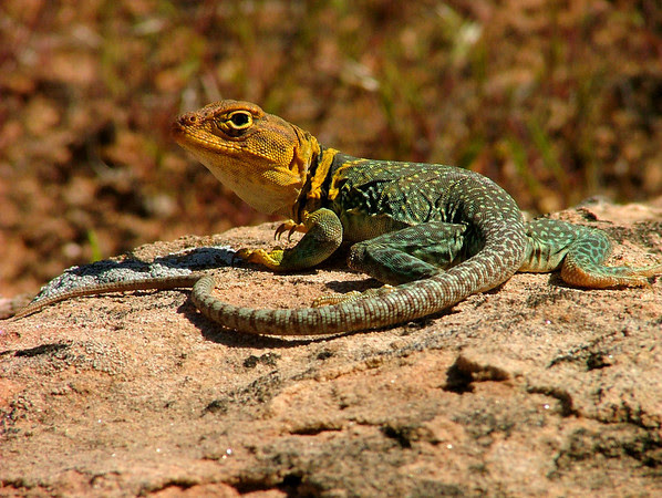 Collared Lizard in Rattlesnake Canyon