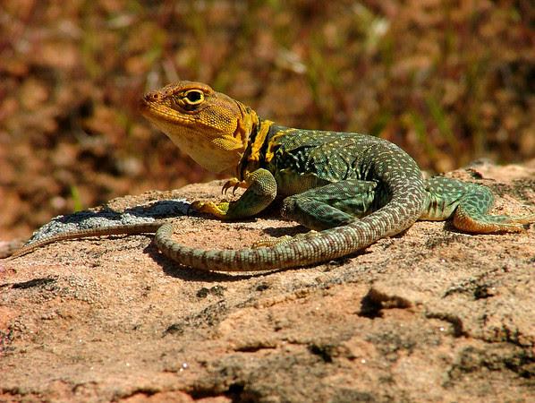 Collared Lizard in Rattlesnake Canyon