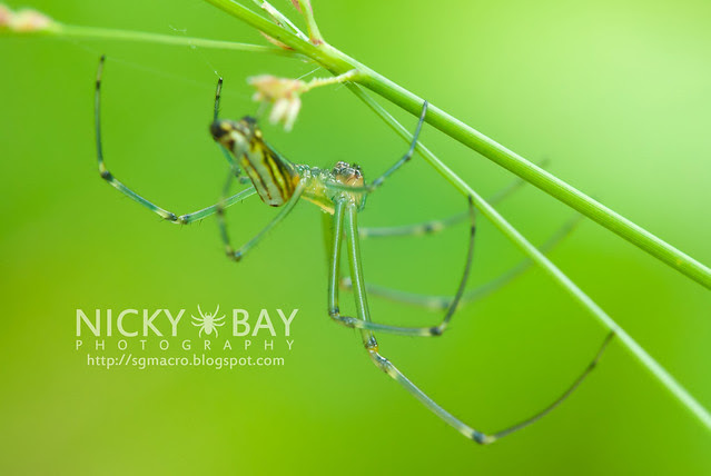 Decorative Leaucauge (Leucauge decorata) - DSC_3689
