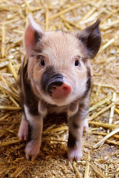 File:Cute Piglet.jpg