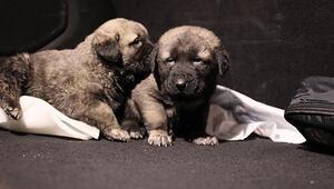 Bekçi Köpeği Haberleri Son Dakika Güncel Bekçi Köpeği Gelişmeleri