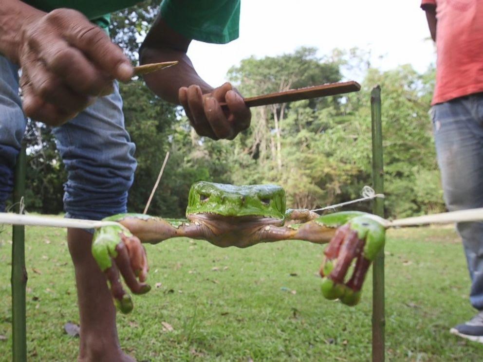 A fim de extrair as toxinas do sapo, o guia coloca cordas em torno de cada um dos seus quatro pés e espalha o corpo rãs entre quatro varas.