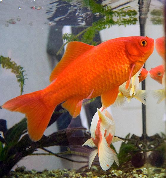 560px-Goldfish3.jpg