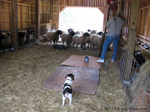 Bert on Sheep Shearing Day 8