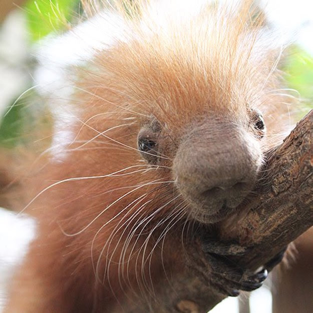 The baby porcupine, known as a porcupette, currently weighs less than a pound, the zoo said.