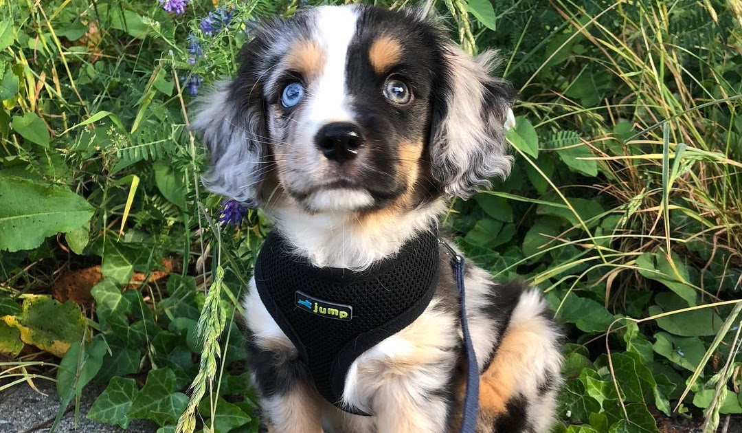Wow Aww: Winston the Aussalier (Aussie/cavalier mix)!