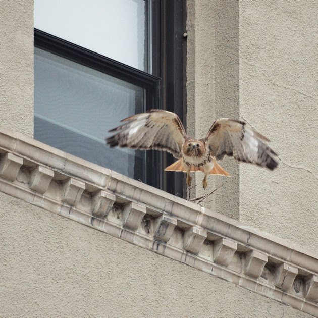 Ed Gaillard: recent &emdash; Red-Tailed Hawk building a nest, Fifth Avenue and 105th Street