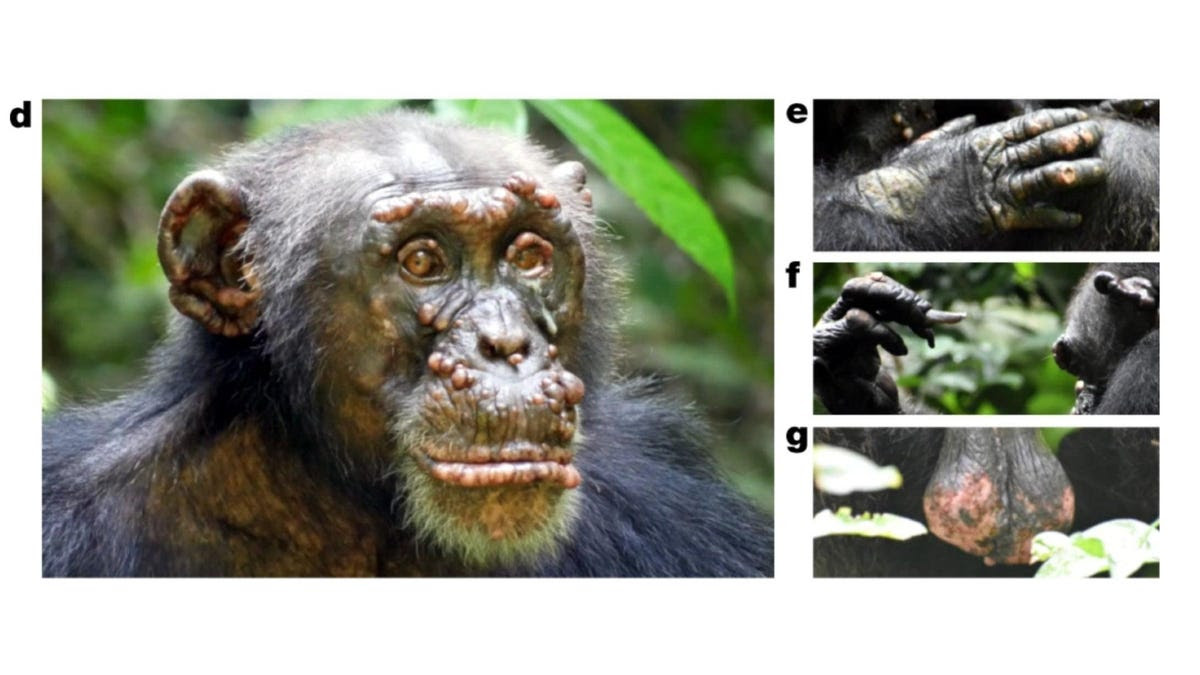 Scientists See Leprosy in Wild Chimpanzees for the First Time