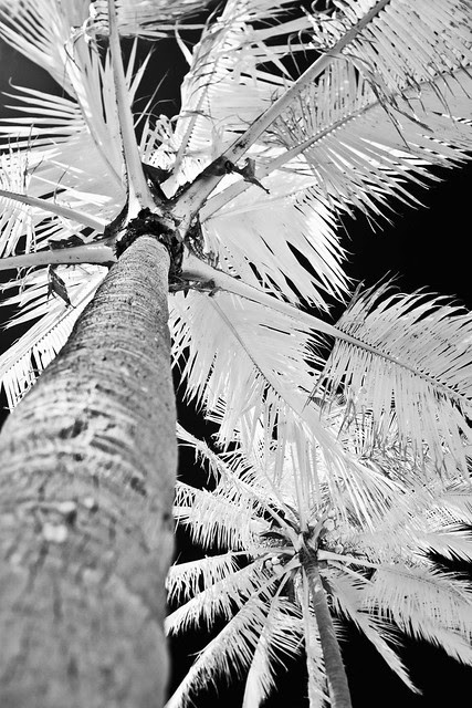 Palm Tree on Anakena Beach (Infrared)