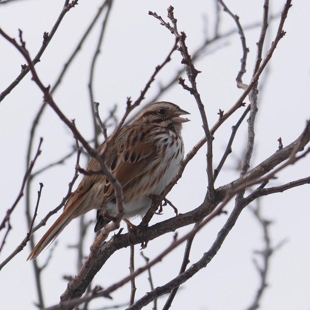 Ed Gaillard: birds &emdash; Song Sparrow, Inwood Hill Park