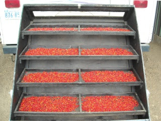 Drying Agarita Berries in Our Solar Food Dehydrator