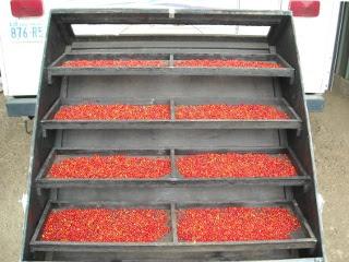 Drying Agarita Berries in Our Solar Food Dehydrator