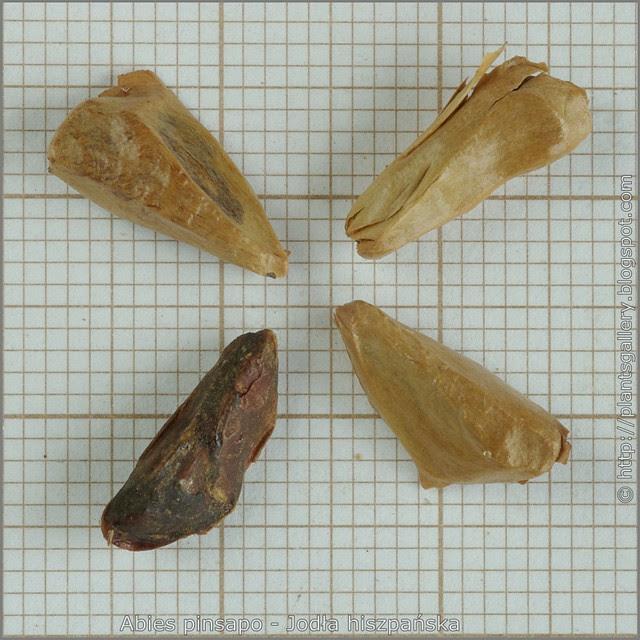 Abies pinsapo seeds - Jodła hiszpańska nasiona