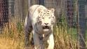 Tiger kills zookeeper in England zoo