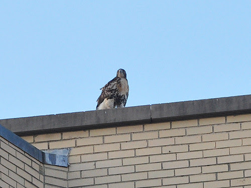 Fledgling on the Hospital