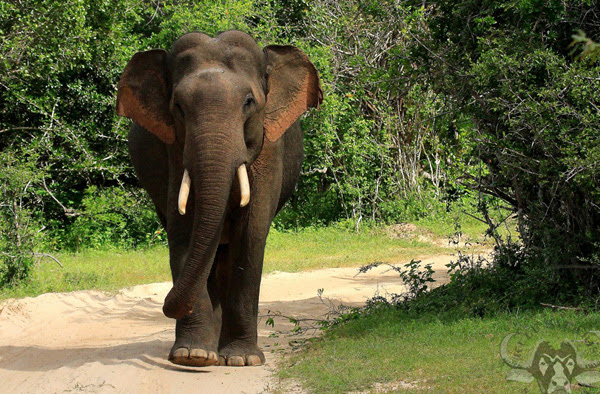 Image result for wild elephant sri lanka