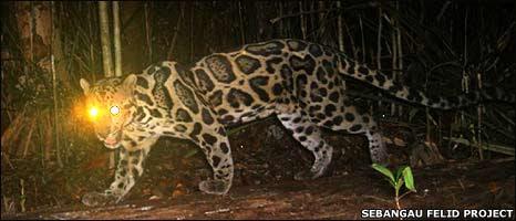 அரிய வகை சிறுத்தைப் புலி (Bornean clouded leopard) ஒன்று இந்தோனிசிய வனவிலங்குகள் சரணாலயப்பகுதியில் கமராவின் கண்களில் சிக்கியுள்ளது.