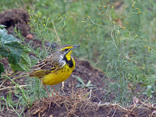 Yellow-Throated Longclaw by TonyKRO