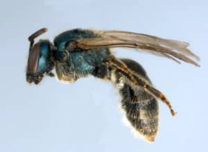 Jason Gibbs collected the first specimen of this new species of sweat bee from a front garden on Brunswick Avenue in downtown Toronto on his way to the Spadina subway station.