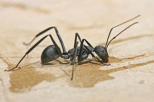 Carpenter ant, Camponotus sp.