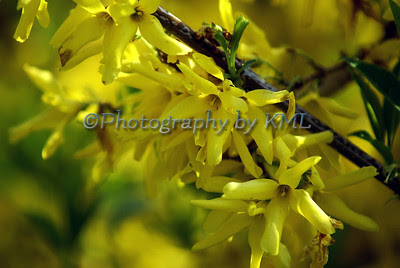 yellow forsythia blossoms in the spring