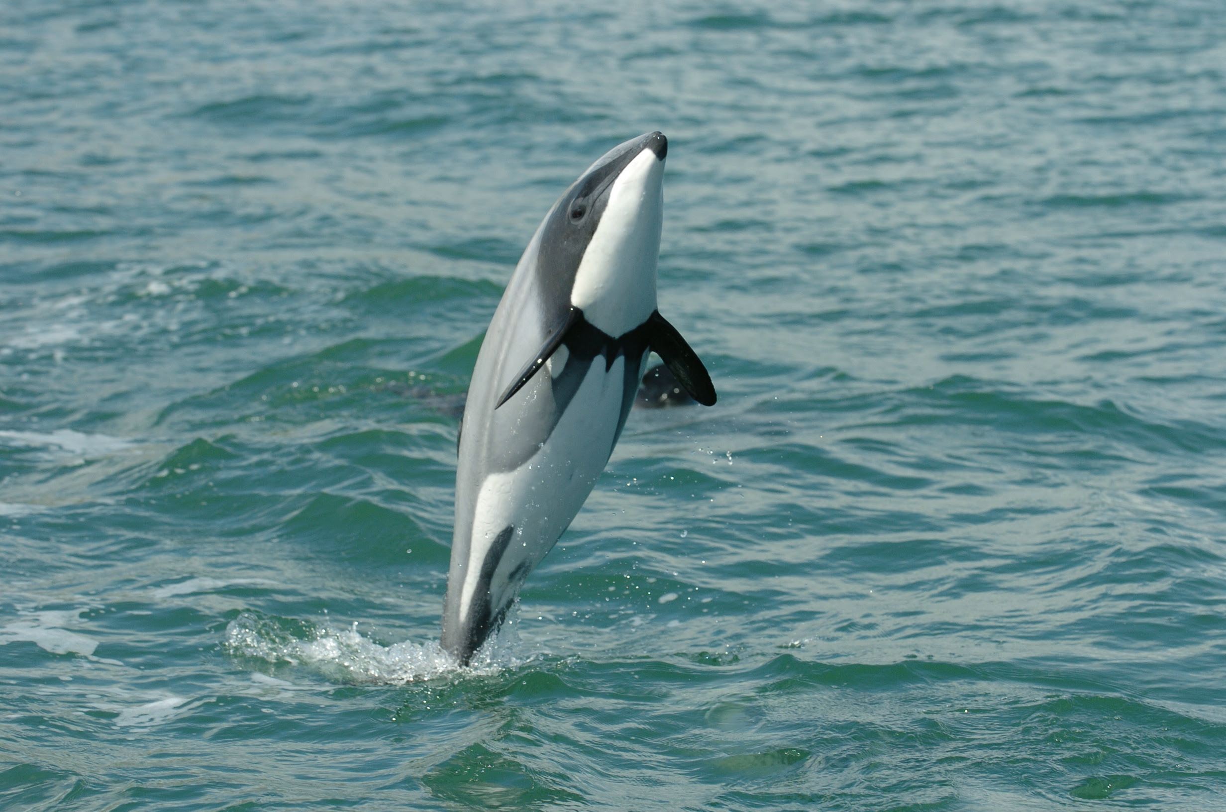 Our Final Chance to Keep Maui's and Hector's Dolphins From ...