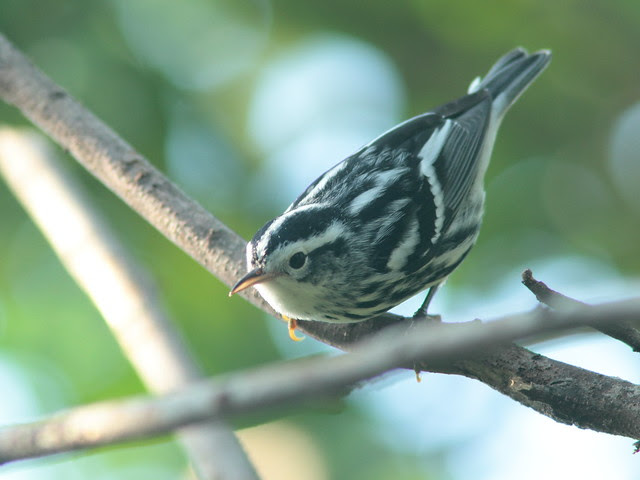 Black-and-White Warbler 4-20110914
