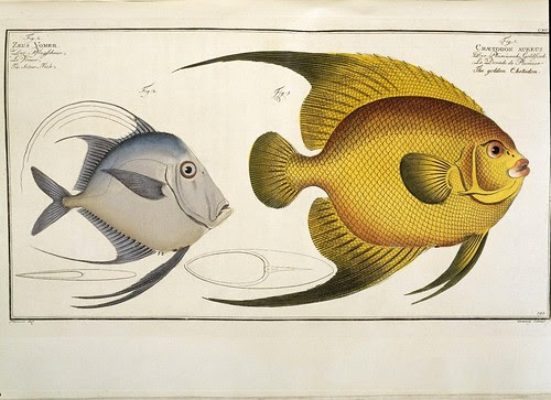 Golden Chetodon and the Silver Fish (Ichthyologie - ME Bloch 1795) Rylands
