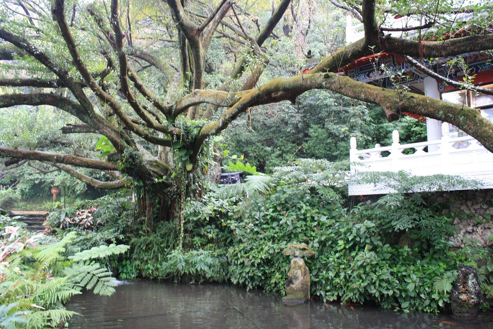 Cool Banyan Tree at Xinhai Guangfu Building in Yangmingshan National Park