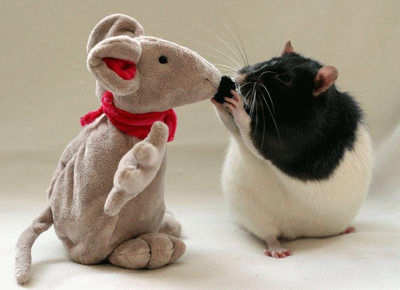 Крыса позирует с игрушкой. Эллен ван Дилен. Фото