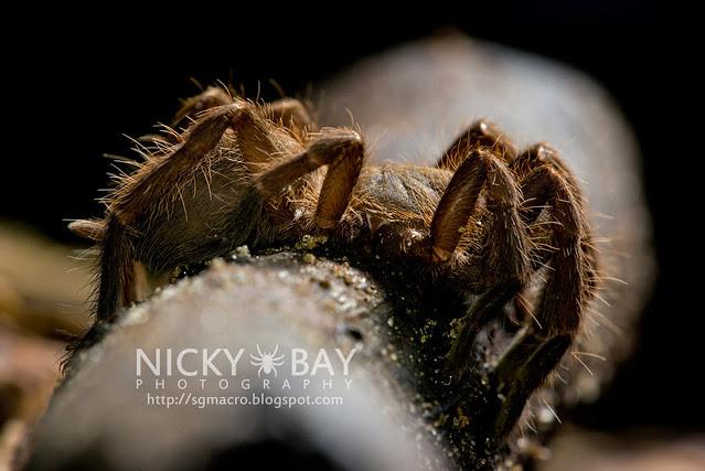 Tarantula (Phlogiellus inermis) - DSC_6991