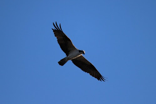 IMG_3743_Osprey
