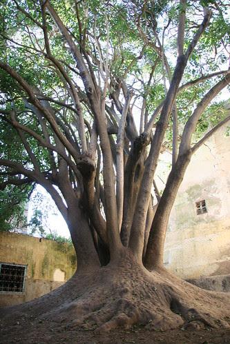 Essaouira-tree