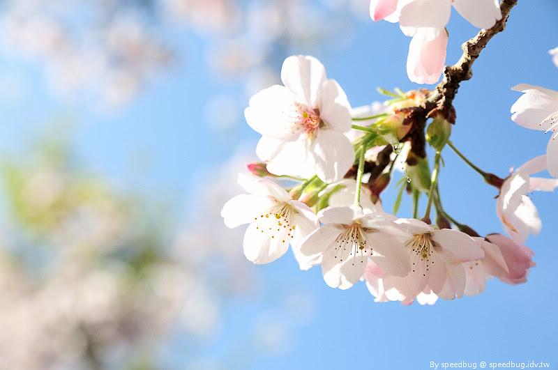 阿里山櫻花季90