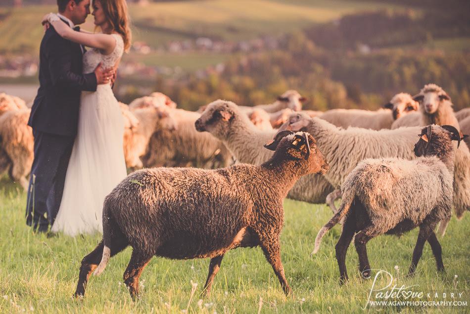 plener slubny z owcami