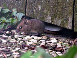 The field mouse is much smaller than a lab mouse.  Image Credit: The Wikipedia
