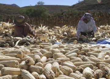 México juega la baza del maíz ante la renegociación comercial con EE UU