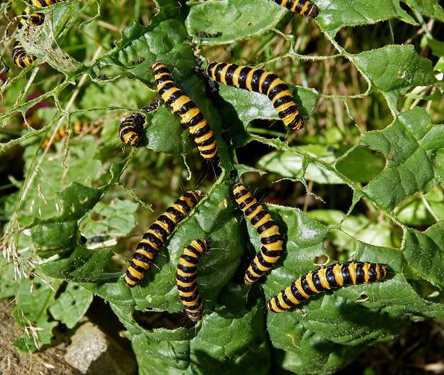 Cinnabar Moth Caterpillars, Garden