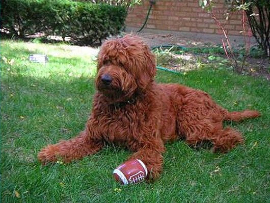Goldendoodle_Red_thumb [2]