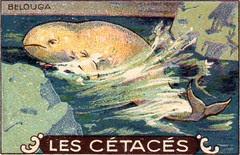 cétacés 8