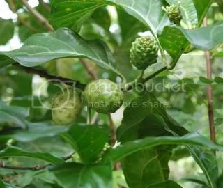 gambar daun mengkudu