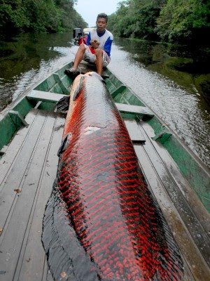 Pirarucu de manejo do Programa de Pesca do Instituto Mamirauá (Foto: Agecom/Divulgação)
