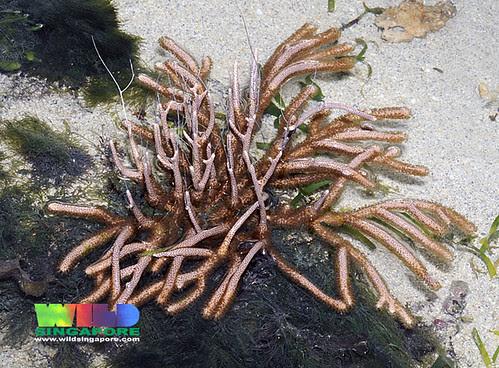 Unidentified leathery sea fan (Order Gorgonacea)