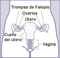 Aparato reproductor femenino (frontal).png