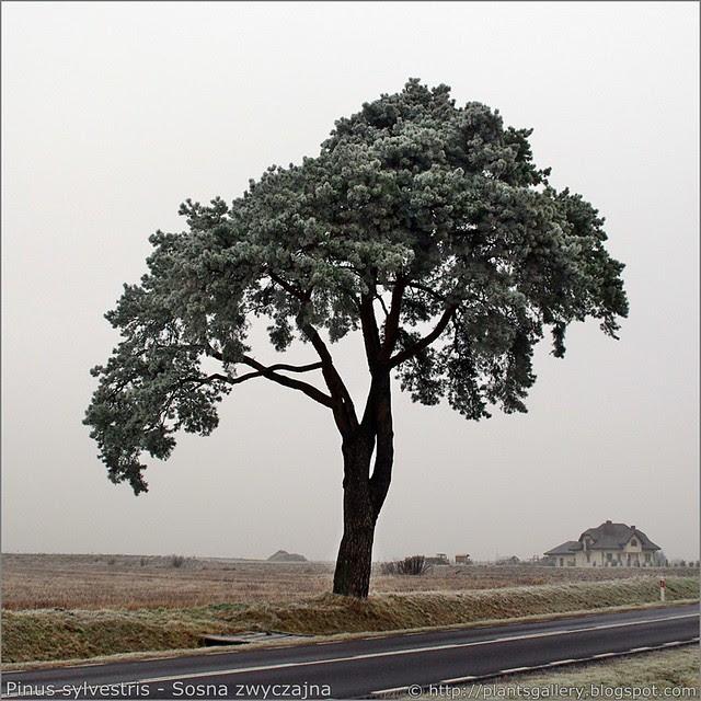 IMGP8168 Pinus sylvestris - Sosna zwyczajna