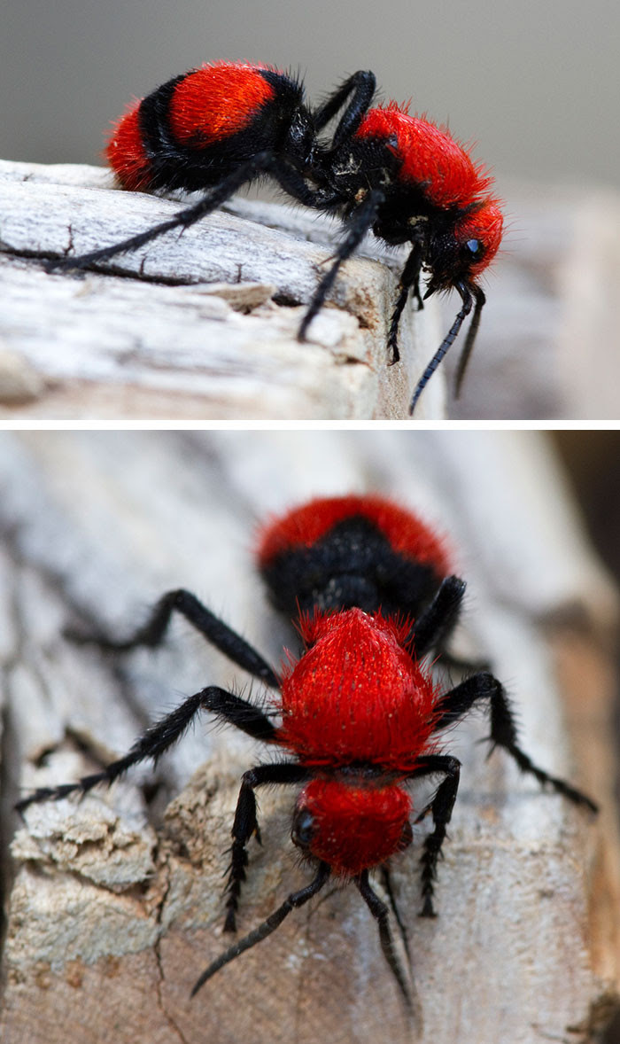 Red ant blindness, animal world, creatures of our planet, facts