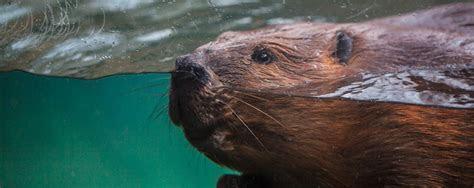 American Beaver   Lincoln Park Zoo
