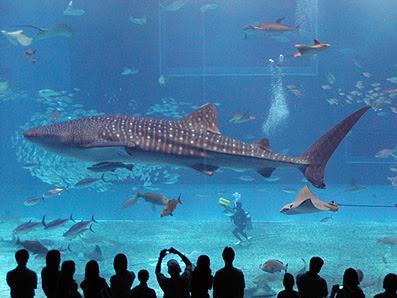 Tiburon ballena Mexico, reserva de la biosfera yucatan